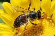 ROSSLAND REAL FOOD: Big bees, little bees, let's help the bees…