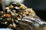 Dangerous Dreissenid mussel is a concern to everyone